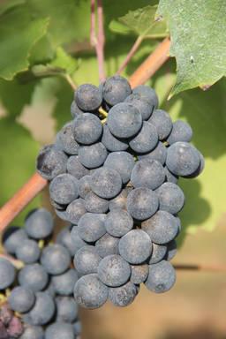 raisin en agriculture biologique