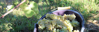 Raisins vendangés à la main
