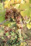 chenin blanc pour vin moelleux