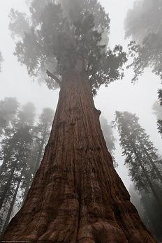 general sherman tree.jpg