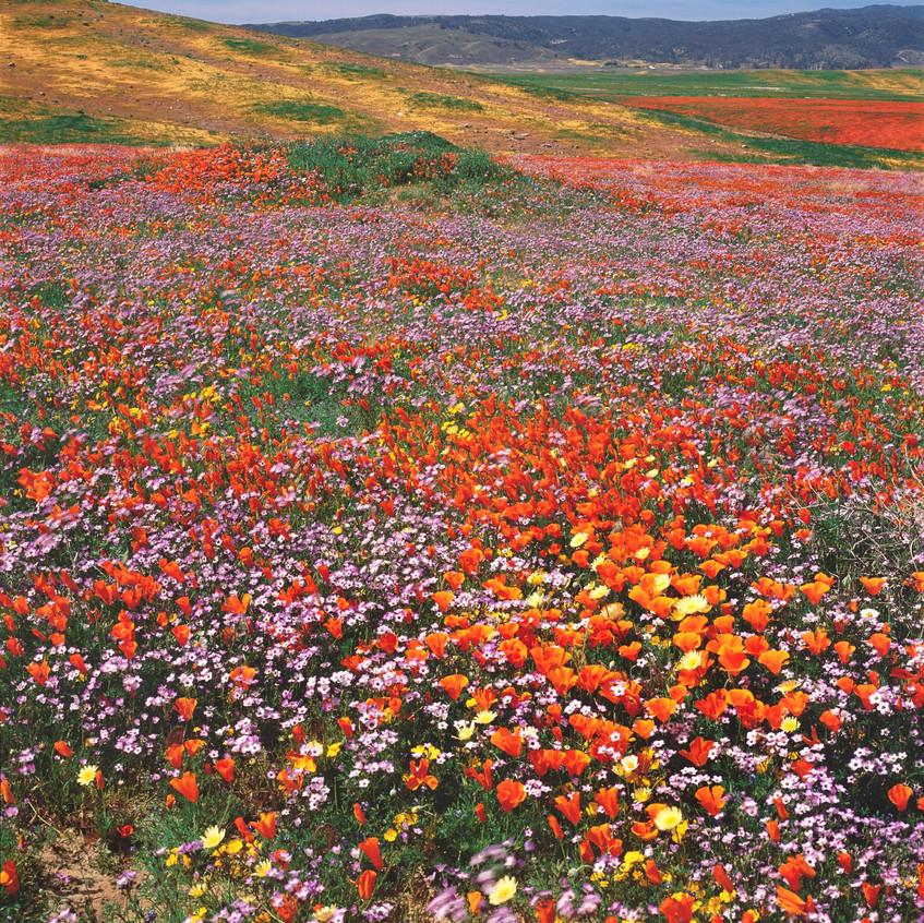 sequoia poppies