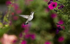 hummingbird sequoia.jpg
