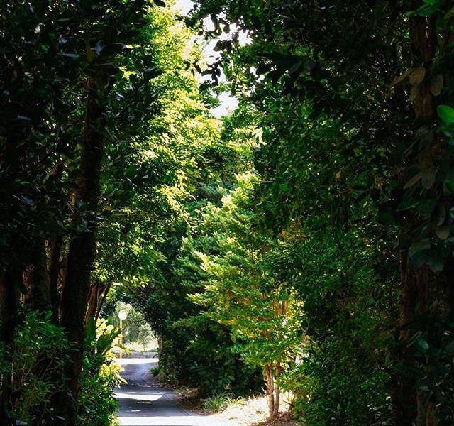 美ら民家の前のフクギ並木です_._フクギは、台風や家事や厳しい西日から家屋を守っ