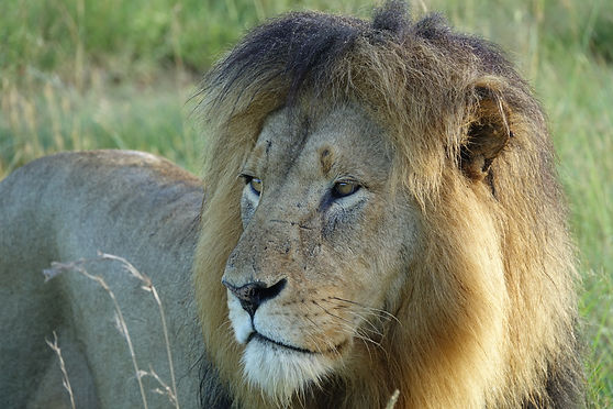 Lion : the Esiweni's king in Nambiti Private Reserve South Africa