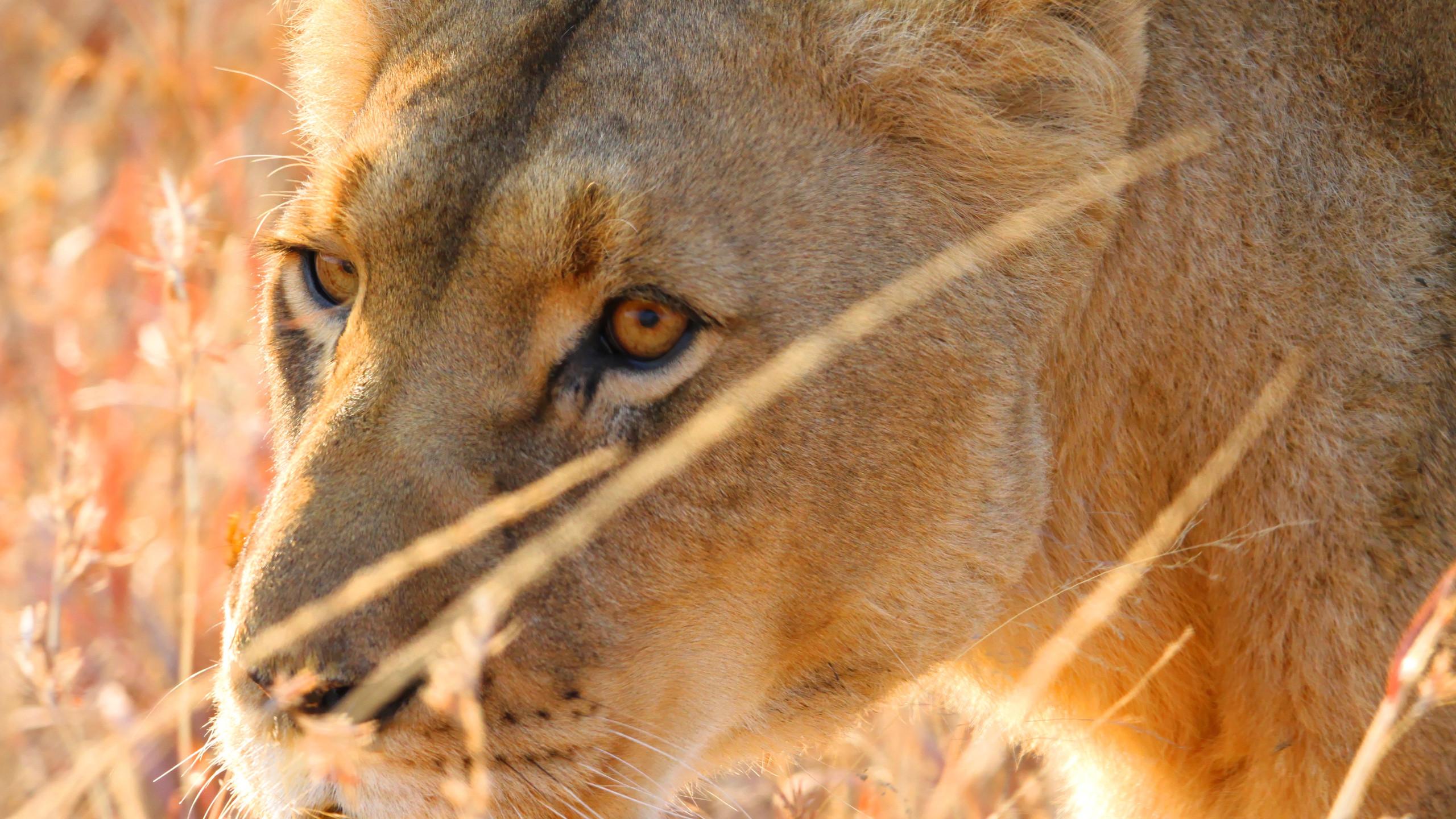Lionne en safari