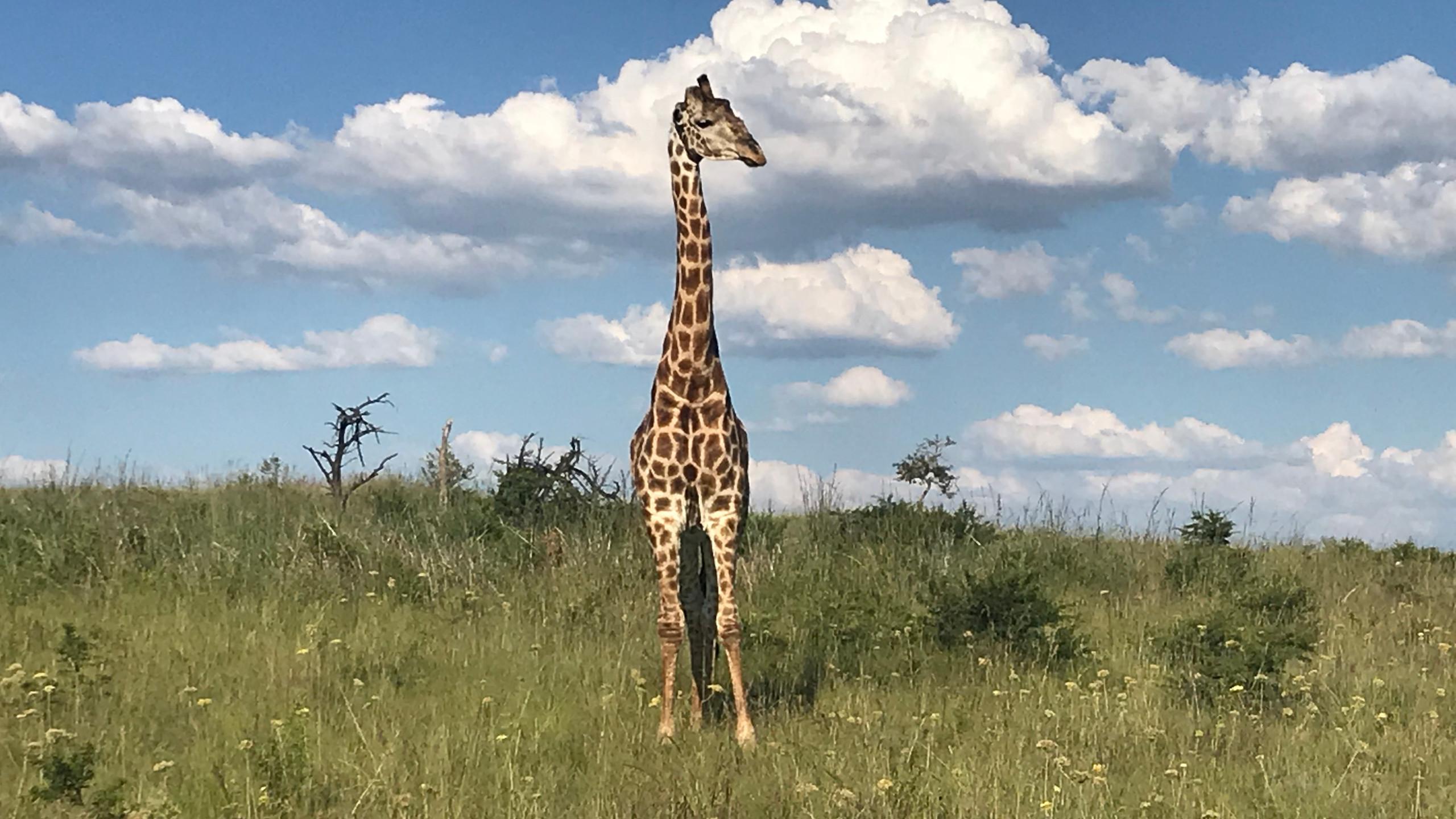 Giraffe in the wild