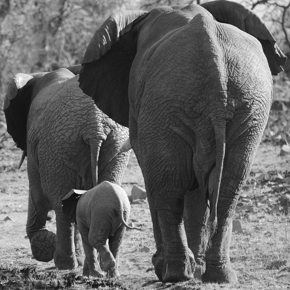 Esiweni elephants walk .jpg
