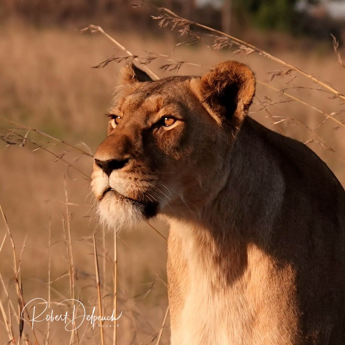 lionne/ lioness in AFRICA