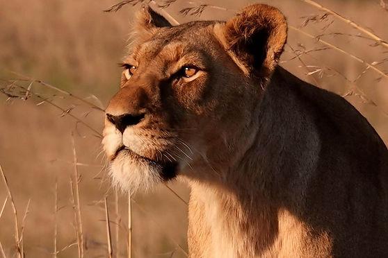 Lionne lioness Esiweni Luxury Safari Lodge, South Africa