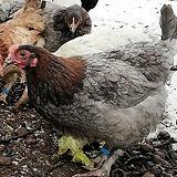 Maran Hühner Blau Kupfe