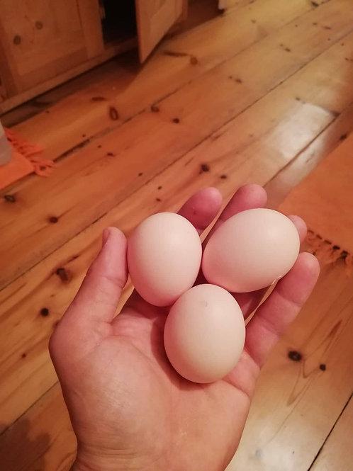 Ayam Cemani - Bruteier