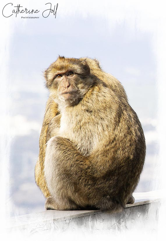 Barbury Macaque Gibraltar