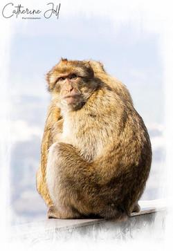 Barbury Macaque Gibraltar