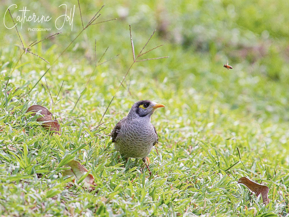 Noisy Miner bird - Brisbane Botanic