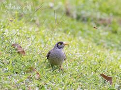 Noisy Miner bird - Brisbane Botanic