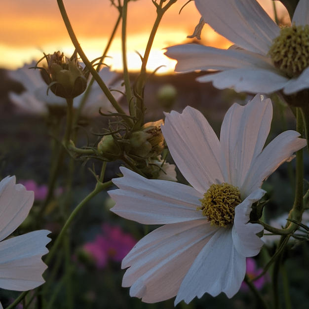 Cosmos Growing in the Field