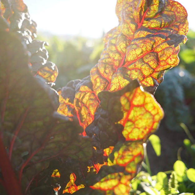 Ruby Red Chard in the field