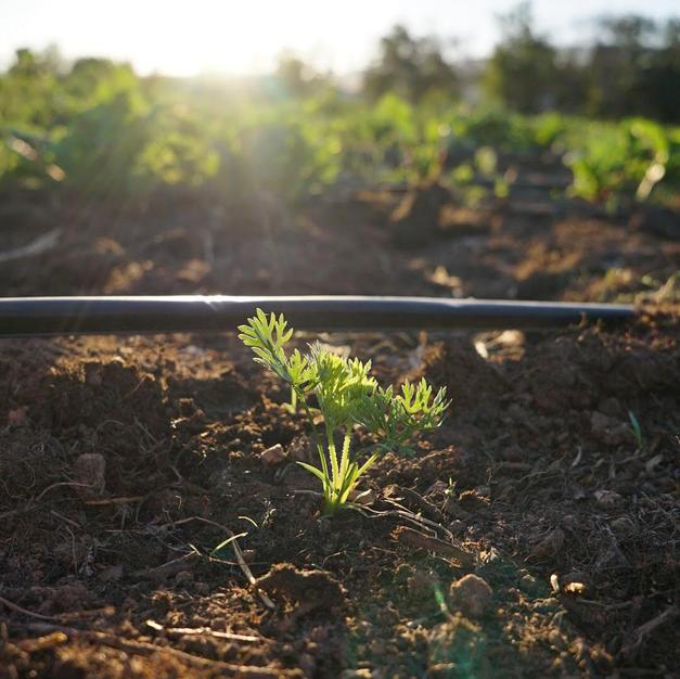 Carrot Seedling