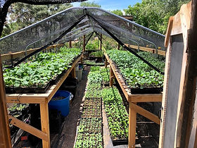 seedlings shadehouse May 2020.jpg