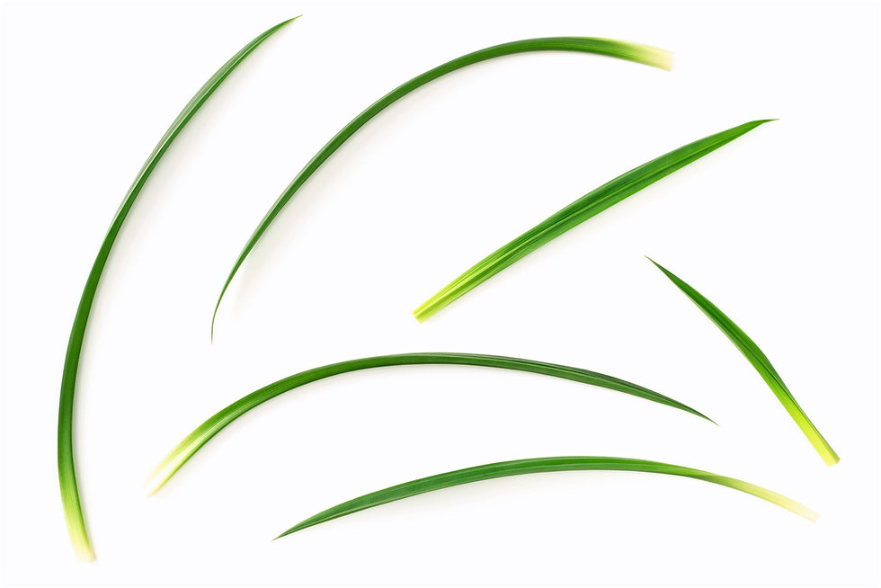 fresh%2520pandan%2520leaves%2520isolated%2520on%2520white%2520background%252C%2520top%2520