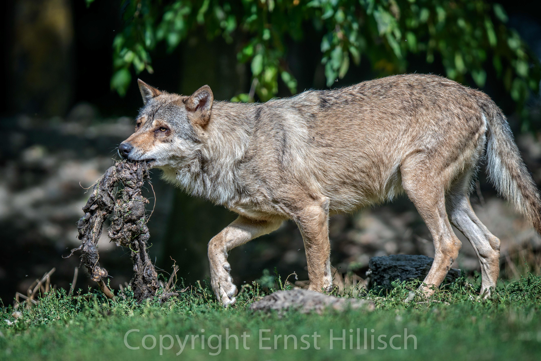 Wolf mit Brotzeit
