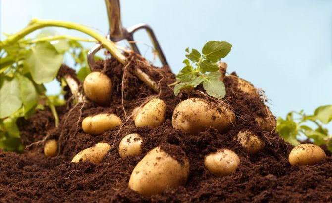 2020 Potato Challenge