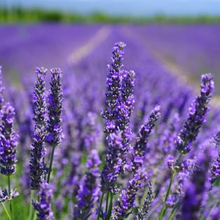 Lavendel BIO