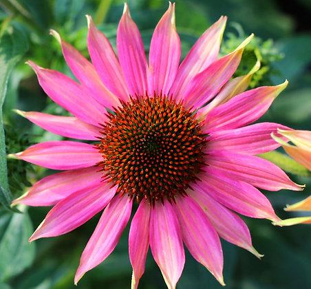 Sonnenhutkraut BIO Echinacea purpura