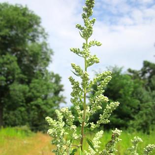Artemisia vulgaris BIO