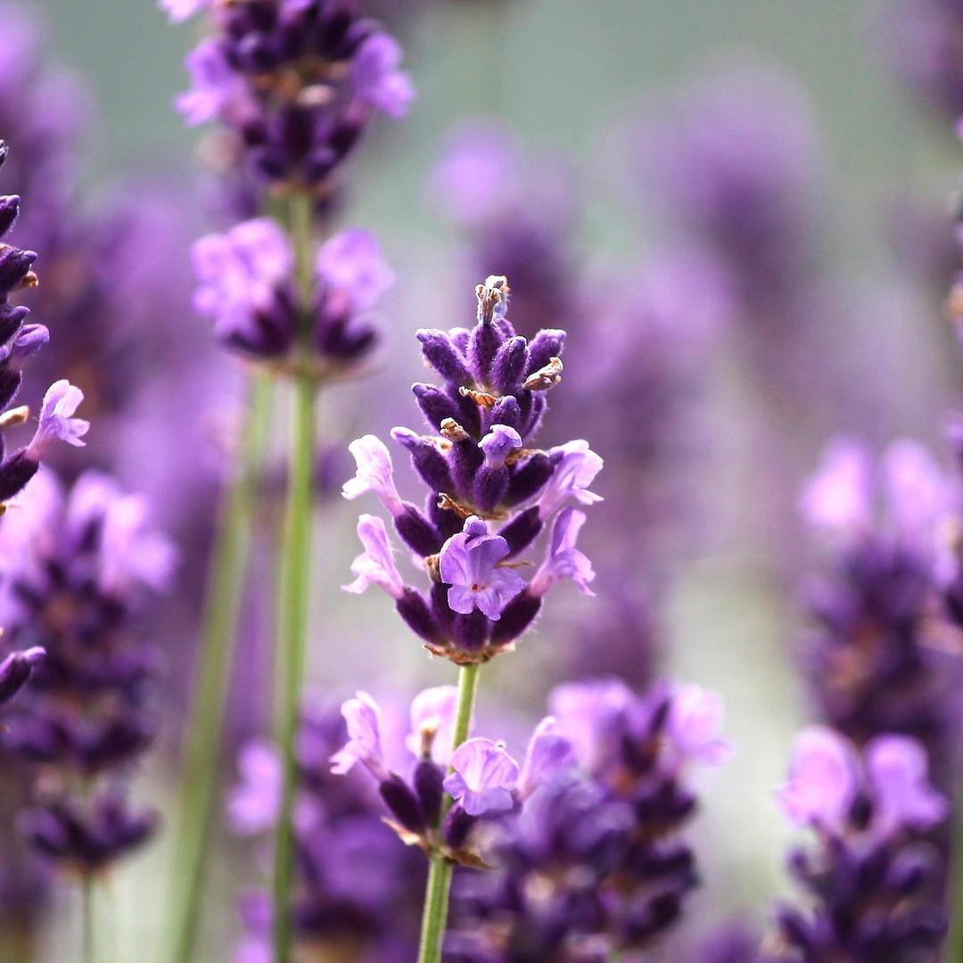 Lavendel 1A BIO