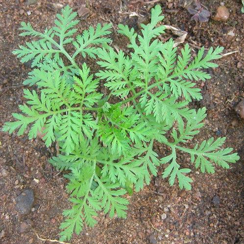 Artemisia annua BIO