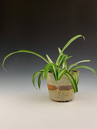 Small Spider-Planter
