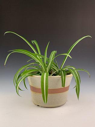 Medium Spider-Planter