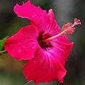 hibiscus thumbnail.jpg