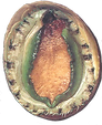 Abalone Species Visual - Greenlip with S