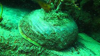 Abalone Biology