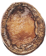Abalone Species Visual - Brownlip with S