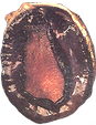 Abalone Species Visual - Blacklip with S
