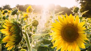 SF17 Sunflowers