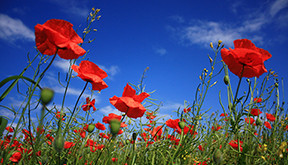 Poppies Blue Sky Remembrance