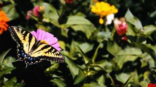 SF7 Butterfly