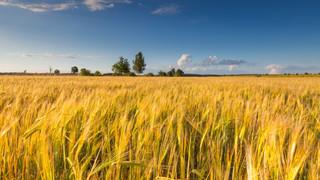 SH3 Wheat Field