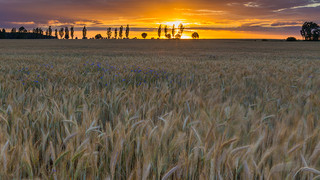 SH6 Sunset Grain