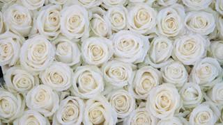 SF1 White Rose Wall