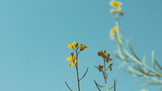 SF5 Golden Wildflower