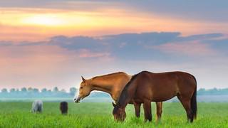 SL21 Horses Graze