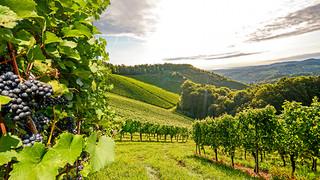 SH14 Lush Vineyard