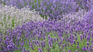 SF4 Lavender Field