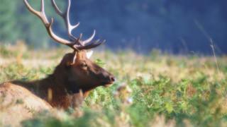 SL32 Elk in Grass