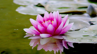 SF3 Lilly Pad Flower